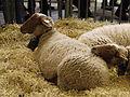 Mouton-rouge-du-roussillon SDA2013.JPG