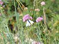 Mt Ventoux - papillon 2.JPG