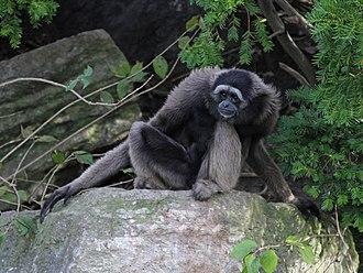 Müeller's gibbon - Image: Muellers Gibbon
