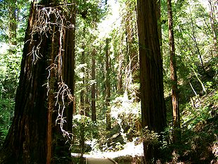 Sequoia sempervirens,Muir Woods National Monument, Californien