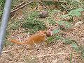 Muscardinus avellanarius con piccolo 3.jpg