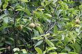 Musskatnuss - Myristica fragrans (8683133297).jpg
