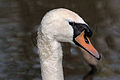 Mute swan (Cygnus olor) head.jpg