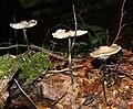 Mycetinis alliaceus - Marpingen - Härtelwald - 20111023-02.jpg