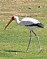 Mycteria ibis -Phoenix Zoo, Arizona, USA-8a.jpg