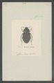 Myoderma - Print - Iconographia Zoologica - Special Collections University of Amsterdam - UBAINV0274 022 08 0012.tif