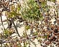 Myrica pensylvanica inflorescence (3).jpg