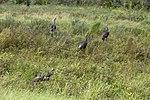 NASA Kennedy Wildlife - Wild Turkeys (2).jpg