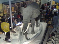 The elephant that wouldn't leave; this exhibit stayed in a corner through the renovations