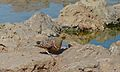Namaqua Sandgrouse (Pterocles namaqua) (6510749453).jpg