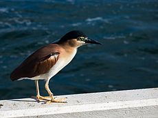 Nankeen (Rufous) Night Heron (23333548021).jpg
