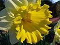 Narcissus pseudonarcissus 1.JPG