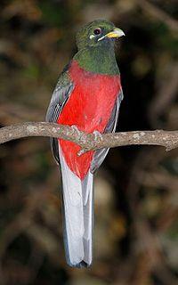 Narina trogon species of bird