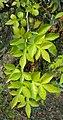 Naringi crenulata 09.JPG