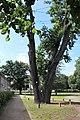 Naturdenkmal 77 Stieleiche Turnhalle Elsterschlossgymnasium Elsterwerda Sj Eda Jun 2020 IMG 3659.jpg