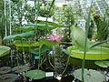 Nelumbo nucifera - Intianlootus, Indisk lotus, Indian lotus DSC07900 C.JPG