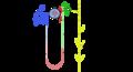 Nephron + Sammelrohrsystem.png