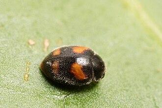Scymninae - Nephus quadrimaculatus