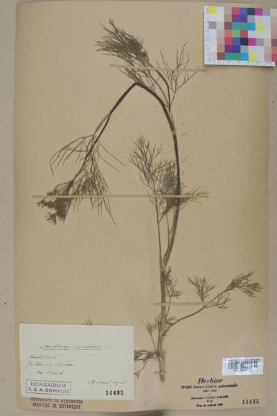 File:Neuchâtel Herbarium - Anethum graveolens - NEU000005514.tiff