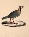 Neue Wirbelthiere zu der Fauna von Abyssinien gehörig (1835) Alectoris melanocephala.png
