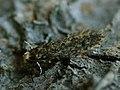 Niditinea sp. (41412975941).jpg