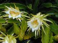 Night Blooming Cereus 2.jpg
