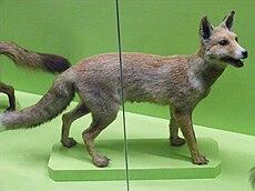 Nile Fox.JPG