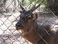 Nisargadhama deer.jpg