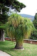 Nolina recurvata-boom in de botanische tuinen van Menton