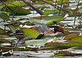 Nomonyx dominicus Pato enmascarado Masked Duck (female and male) (10761316613).jpg