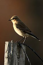 Nonbreeding Northern Wheatear.jpg