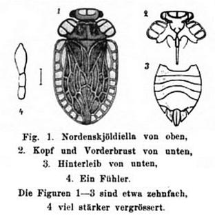 <i>Peloridium hammoniorum</i> species of insect