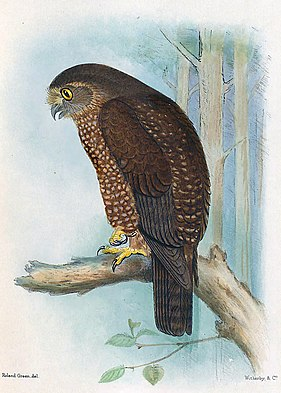 Norfolkinsel-Kuckuckskauz, aus The Birds of Australia. Bild von Henrik Grönvold (1858–1940).