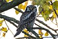 Northern Hawk Owl 2013 Zwolle.jpg