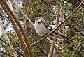 Northern mockingbird in Green-Wood Cemetery (03570).jpg