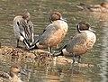 Northern pintail Male 2 (Anas acuta) വാലൻ എരണ്ട .jpg