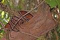 Nosy Be mouse lemur (Microcebus mamiratra) sleeping site.jpg
