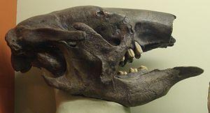 Nothrotherium - Skull of Nothrotherium