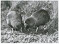 Notornis on game farm, Mount Bruce, Masterton, 1966 (4).jpg