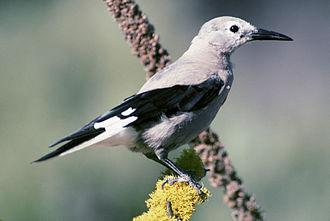 Clark's nutcracker - In Deschutes National Forest