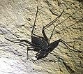 Nusa Penida Phrynidae.jpg