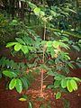 Nutmeg plant.jpg