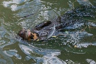 Giant otter - Giant otter from Venezuela.