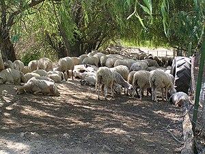 עדר צאן ויקפדיה ספרד
