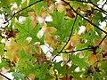 Oak (31120172812).jpg