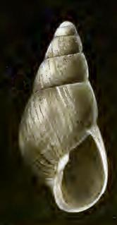 <i>Odostomia sitkaensis</i> species of mollusc