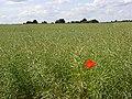 Oil-seed rape, Bisham - geograph.org.uk - 856517.jpg
