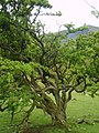 Old Hawthorn - geograph.org.uk - 1332931.jpg