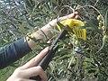 Olive picking tool.JPG