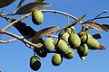 Olives (CAROLIA) CL. J Weber (22780325009).jpg